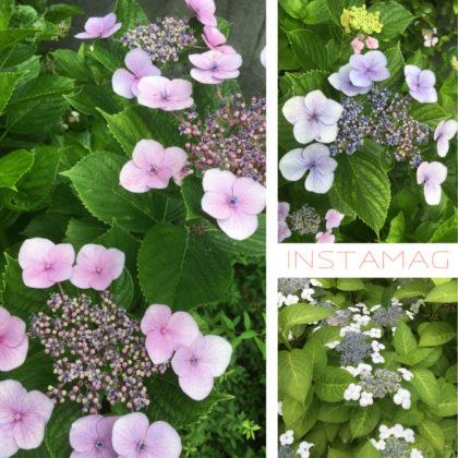近所の公園の紫陽花