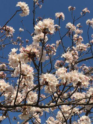 やまびこ公園の桜